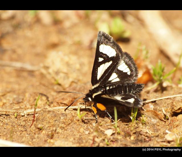 Langton's Forester Moth (Alypia langtoni)