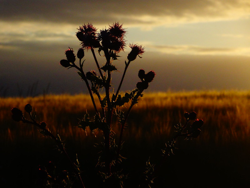 Thistle/Sunset 1
