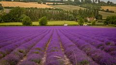Lavender Fields.Eynsford