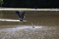 Egret vs Heron fight