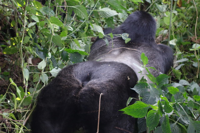 140625 Gorilla Silveback Bum
