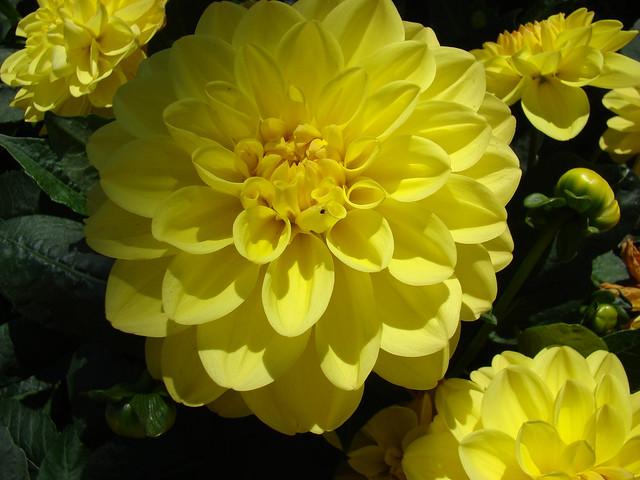 DAHLIAS jaunes - St, Sony DSC-H9