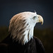Portrait of a Bald Eagle National Eagle Center Winona, MN ©2017 Lauri Novak by LauriNovakPhotography