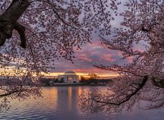 Cherry Blossoms & Tidal Basin