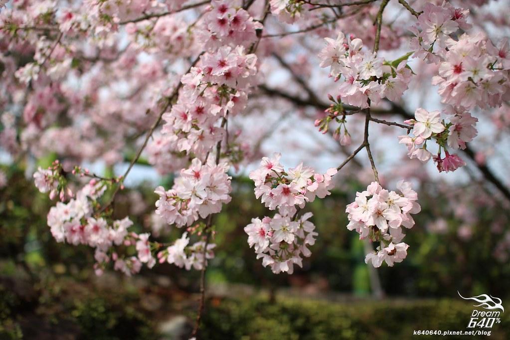 淡水天元宮櫻花-28