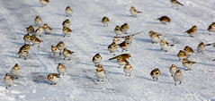 Snow Buntings & Horned Larks