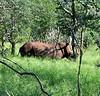 Decorned White Rhino