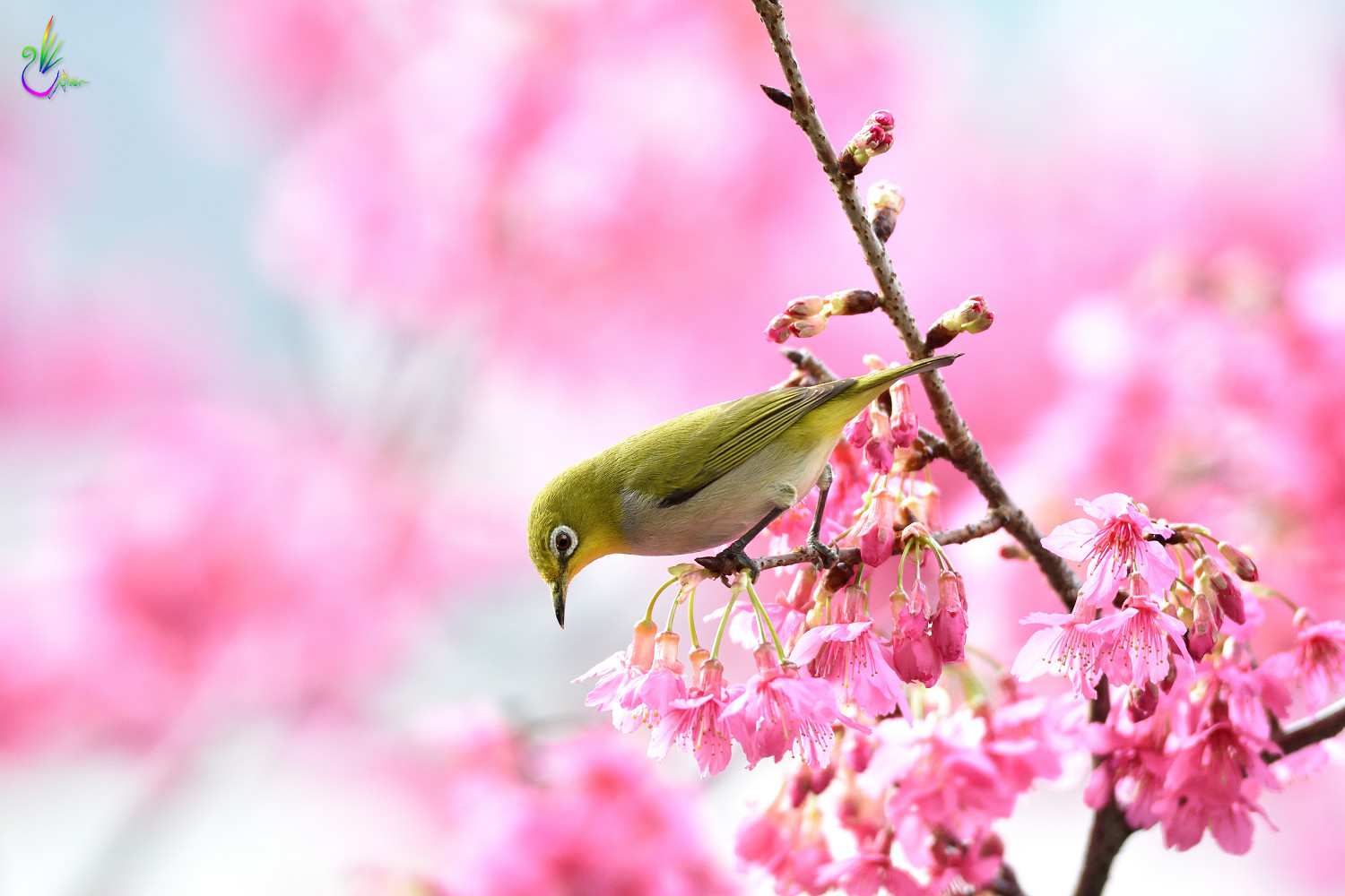 Sakura_White-eye_7889