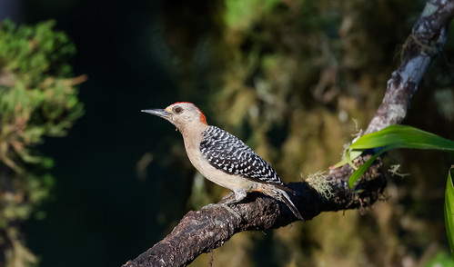 Costa Rican Red-crowned Woodpecker