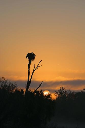 circlebbarreserve sunrise mist fog light morning early osprey nest golden silhouette polkcounty florida usa nikond5300