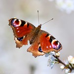 Peacock Butterfly on Blackthorn 78417