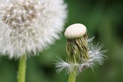 Dandelion seed head - Photo of Husson