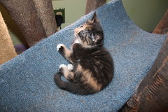 It's Kitten Season! Cats and Kittens at Crafty Cat Rescue (Ann Arbor, Michigan) - Wednesday April 19, 2017
