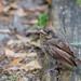 Backyard juvenile  Cardinal 04-20-2017 by Jerry's Wild Life