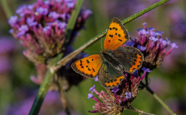 Small Copper in the, Nikon D70S, AF Zoom-Nikkor 24-85mm f/2.8-4D IF