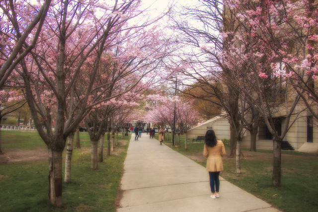 Enjoying The Cherry Blossoms @ University of Toronto Robarts Library
