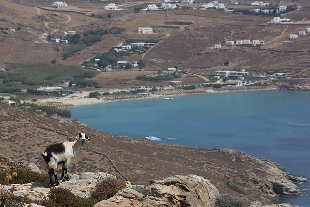 Goats on Mykonos - Kalo Livadi in the background