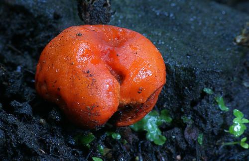 Thaxterogaster aurantiacum