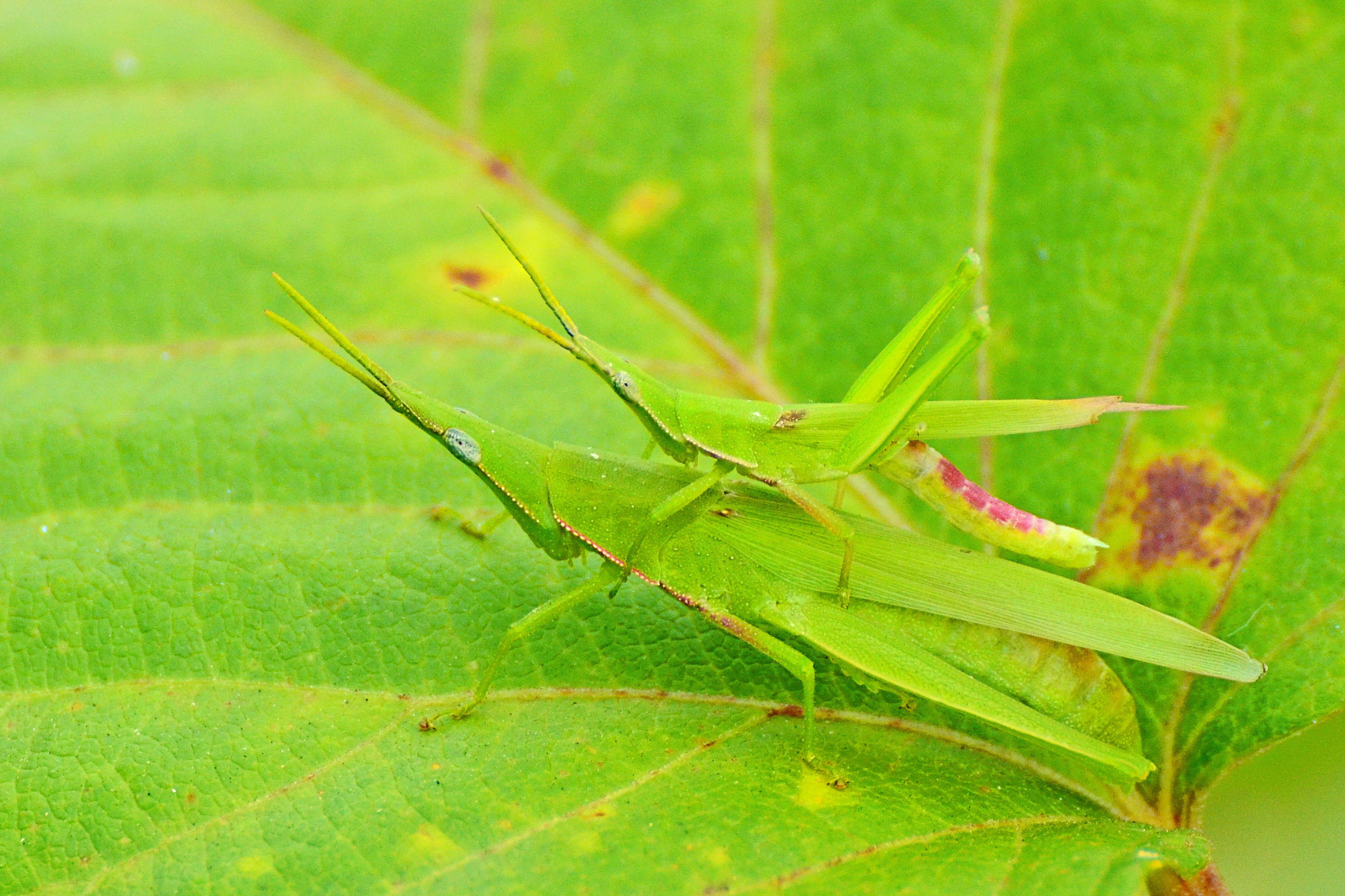Smaller Longheaded Locust on Leaf / オンブバッタ