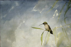 Hummingbird with Textured Clouds