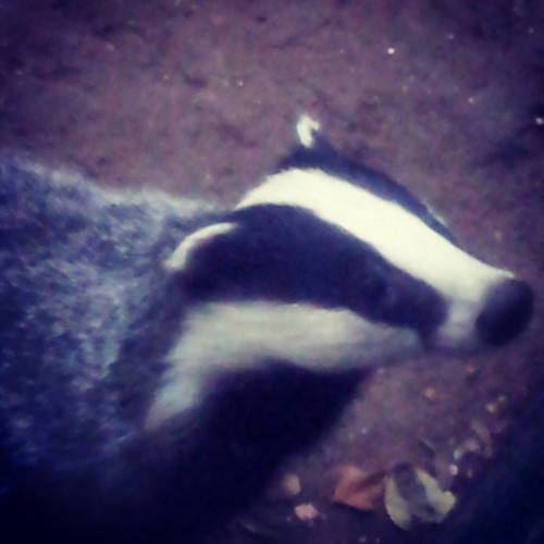 #badger #Essex