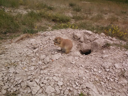 Feeding Prairie Dogs