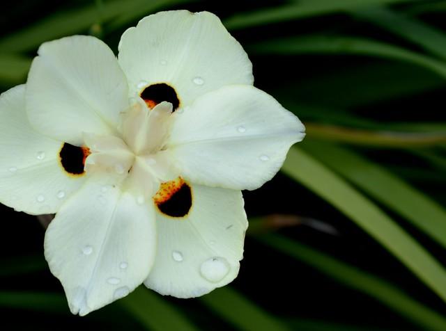 Iris maybe