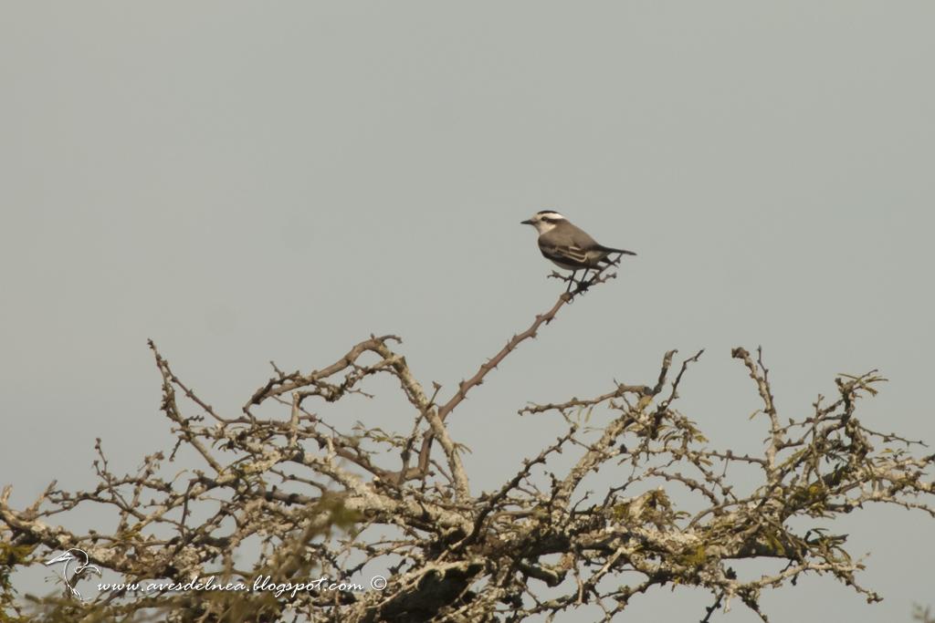 Monjita coronada ( Black-crowned Monjita) Xolmis coronatus