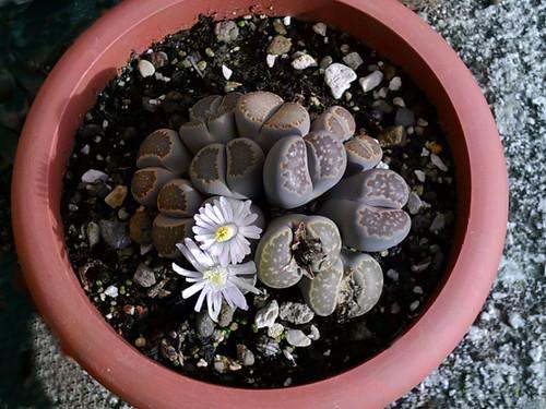 Lithops, ovvero i sassi vivi - Lithops or living stones