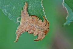 Slug Moths