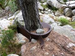 L'usine à bois 989m : vestiges métalliques enroulés autour d'un pin