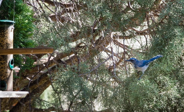 Western Scrub Jay Approaches Feeder