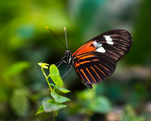 Butterfly, Golden Helicon Heliconius hecale, Orange, Black, White, Leaf