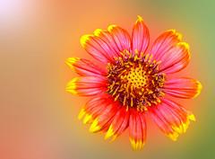 *** Blanket Flower