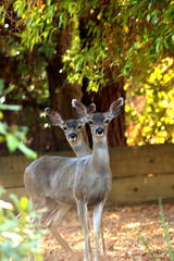Two Curious Deer