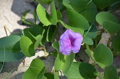 arum(0.0), ipomoea violacea(1.0), flower(1.0), datura inoxia(1.0), leaf(1.0), ipomoea alba(1.0), plant(1.0), flora(1.0), produce(1.0),