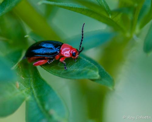 red black fleabeetles galerucinae leafbeetles alticini chrysomeloidea asphaera lustrans shinyfleabeetle roycohutta