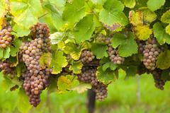 Pink wine grapes on vineyard