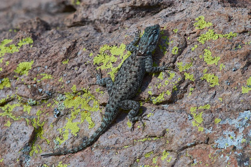 Mountain spiny lizard - Chiricahua National Monument