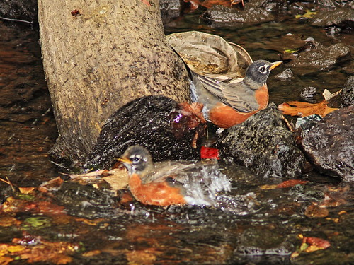 American Robins bathing 2-20140930