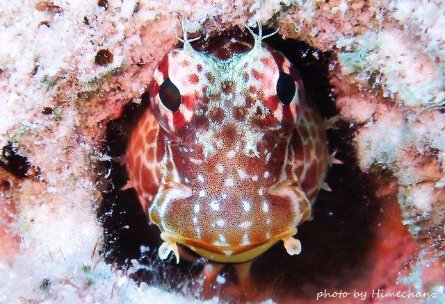 魚の正面顔ってほんと面白いですよねw エリグロギンポ