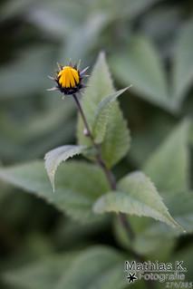 Blüte | Projekt 365 | Tag 274