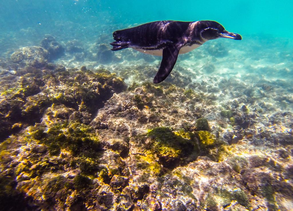 Pingüí Galápagos