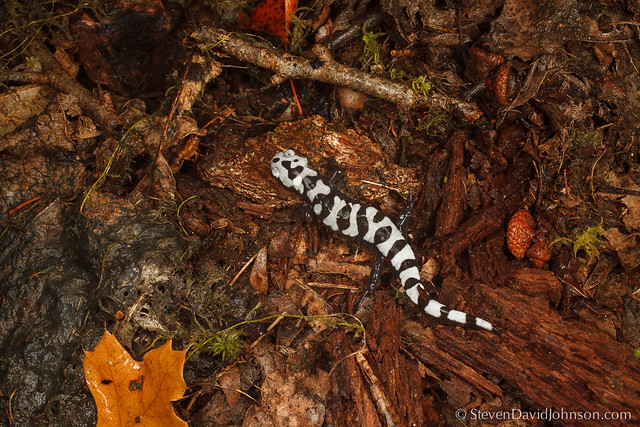 Marbled Salamander migration, Maple Flats Ponds, George Washington National Forest