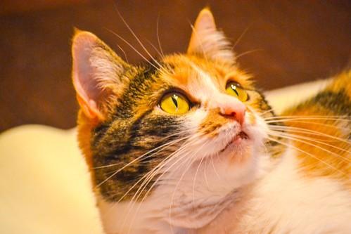 Jaspe, maravillosa tricolor de ojos cobrizos esterilizada nacida en Abril´11, necesita adopción. Valencia. ADOPTADA.  15265938836_91452bb79f