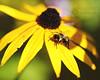 Bee on a Petal