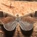 Small photo of Macrosoma sp (Hedylidae)