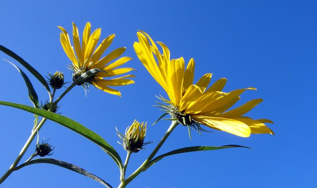 Closeup of two open blossoms against a blue sky
