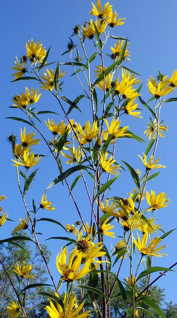 Looking up at many medium-sized yellow sunflowers against a blue sky