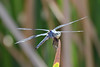 Blue Dasher, Papago Park